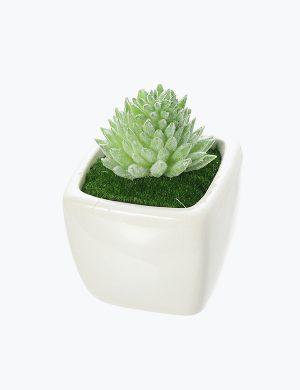 Succulent Plant Mini Stone Lotus